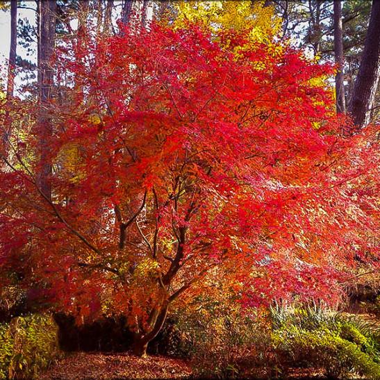 Buy Beni Komachi Japanese Maple The Tree Center