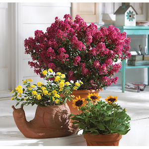 Berry Dazzle Crape Myrtle in Pot