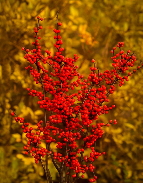 Berry Heavy 174 Winterberry Holly Bush For Sale The Tree Center