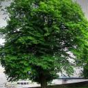 Black Birch Tree