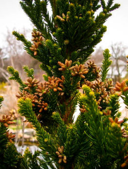 Black Dragon Cryptomeria Japanese Cedar