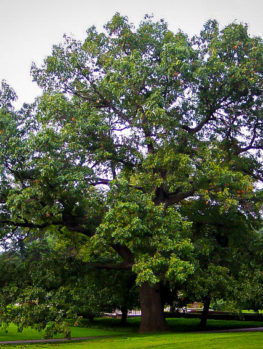 Black Oak Tree