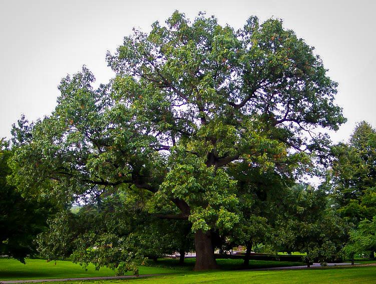 Black Oak Tree ~ Black oak tree for sale online the center