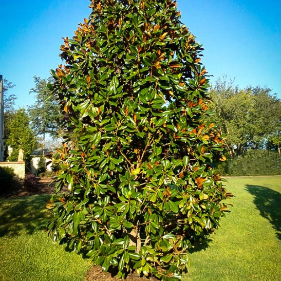 southern magnolia quotblanchardquot for sale online the tree