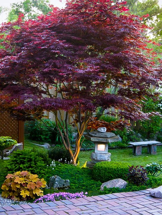Bloodgood japanese maple for Garden design with japanese maple