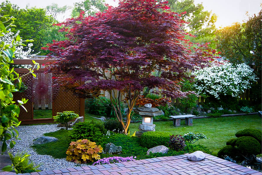 Bloodgood japanese maple for sale online the tree center for Garden design with japanese maple