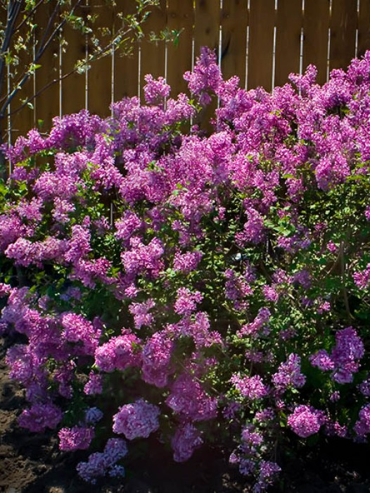 Lilacs Product Categories The Tree Center