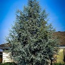 blue-atlas-cedar-2