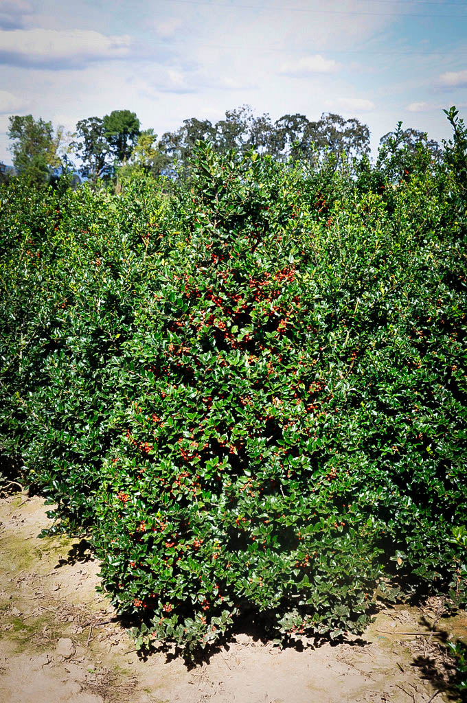 Blue Girl Holly For Sale Online The Tree Center