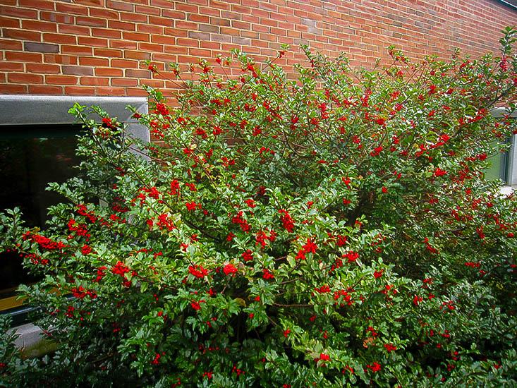 blue-maid-holly-5 Holly Plants California House on california daisy plant, california sagebrush plant, california blackberry plant, boston ferns plant, california poppy plant, california yarrow plant, california lavender plant, california redbud plant, christmas berry plant, california lilac plant, california privet plant, california buckwheat plant, california broom plant, california toyon plant, california ivy plant, california thistle plant, california jasmine plant, california calendula plant, beautyberry plant, california elephant ear plant,