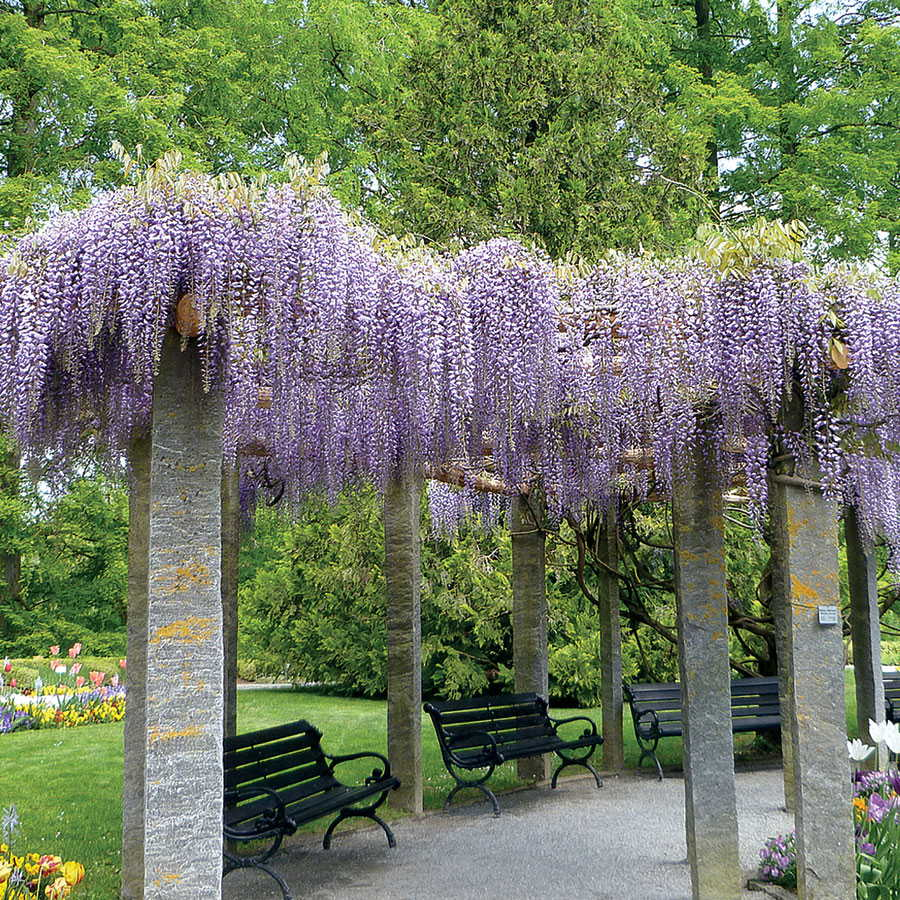 American wisteria the tree center american wisteria izmirmasajfo