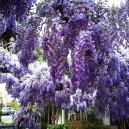 blue-moon-wisteria-2