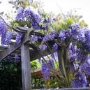blue-moon-wisteria-3