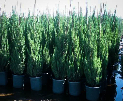 Buy blue point juniper online | free shipping over $99. 99.