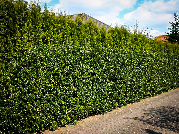 Blue Prince Holly For Sale Online The Tree Center