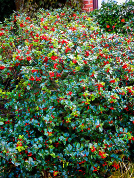 how to grow cut blue berry bushes