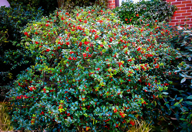 Holly, Blue Princess | Yard landscaping, Plants, Garden |Prince And Princess Blue Holly