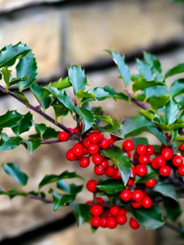 blue prince and princess combo holly bush - Holly Plant