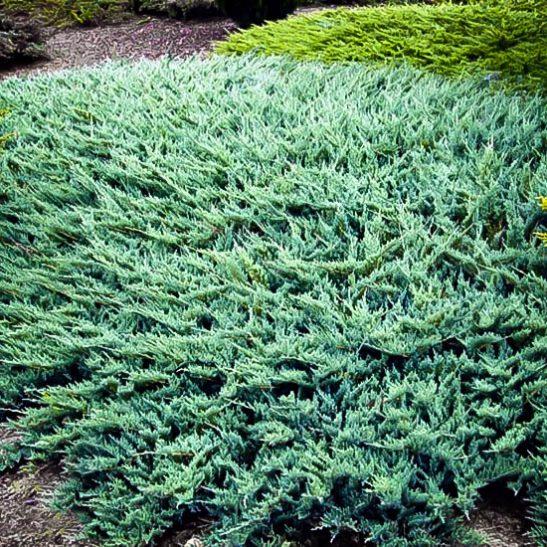 Blue Rug Juniper Ground Cover Plants For Sale