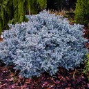 blue-star-juniper-3