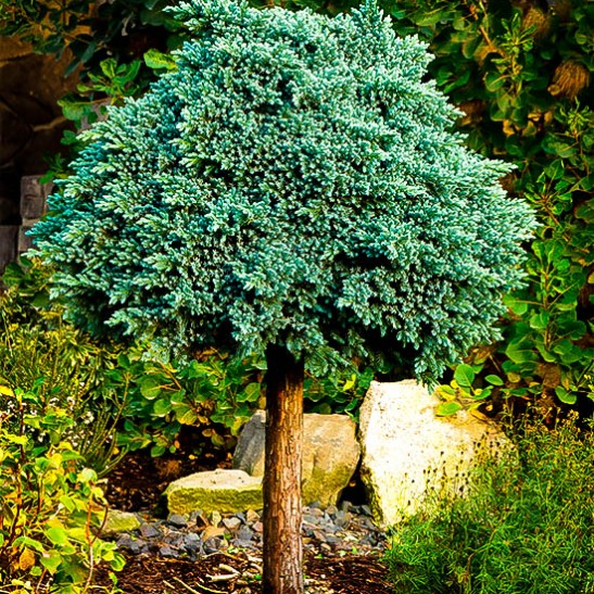 Blue Star Juniper Bush