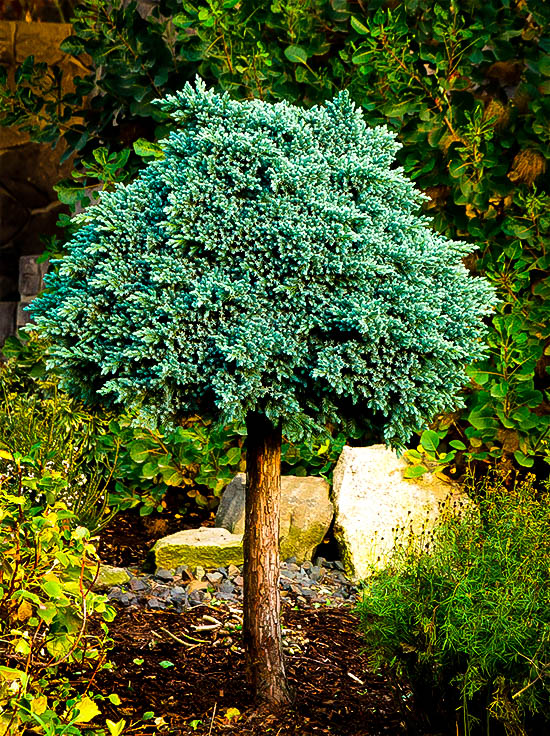 Blue star juniper tree for sale online the tree center for Trees for sale