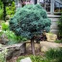 blue-star-juniper-tree-2