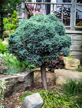 Blue Star Juniper – Tree Form