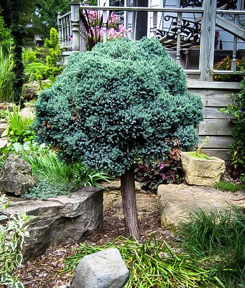 Blue Star Juniper Tree For Sale Online The Tree Center