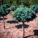 blue-star-juniper-tree-3
