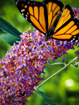 Asian Moon Butterfly Bush The Tree Center
