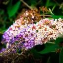 blueberry-cobbler-butterfly-bush-2