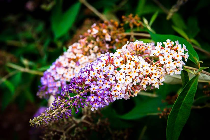 Blueberry Cobbler Butterfly Bush For Sale The Tree Center