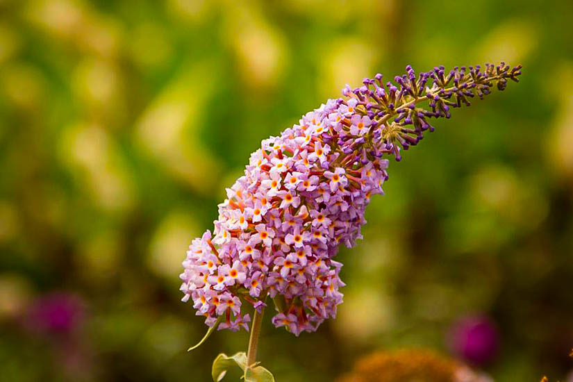 Blueberry Cobbler Butterfly Bush The Tree Center