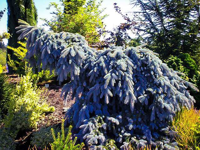 The blues weeping colorado spruce the tree center for Gardening zones colorado