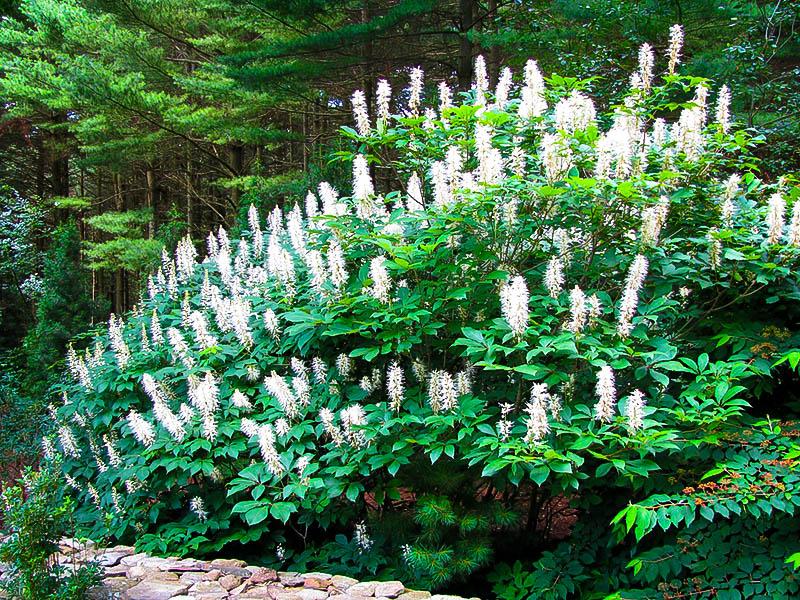 Bottlebrush Buckeye For Sale The Tree Center