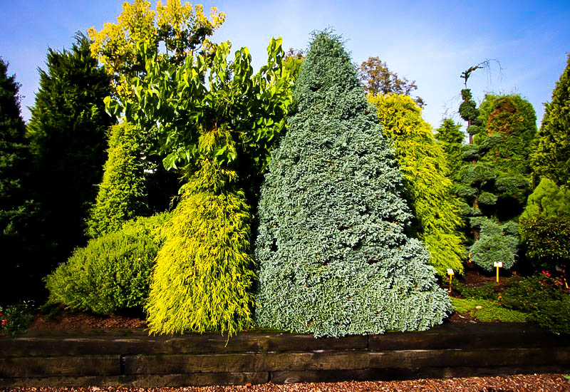 Boulevard Cypress Tree For Sale The Tree Center