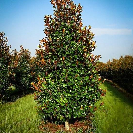 Brackens Brown Beauty Magnolia The Tree Center