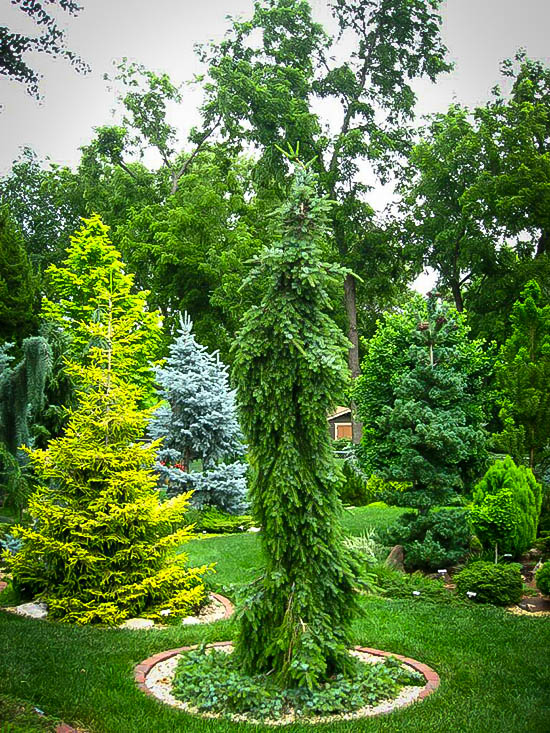 Bruns Weeping Serbian Spruce The Tree Center