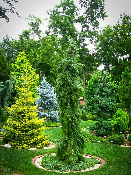 Bruns Weeping Serbian Spruce Tree