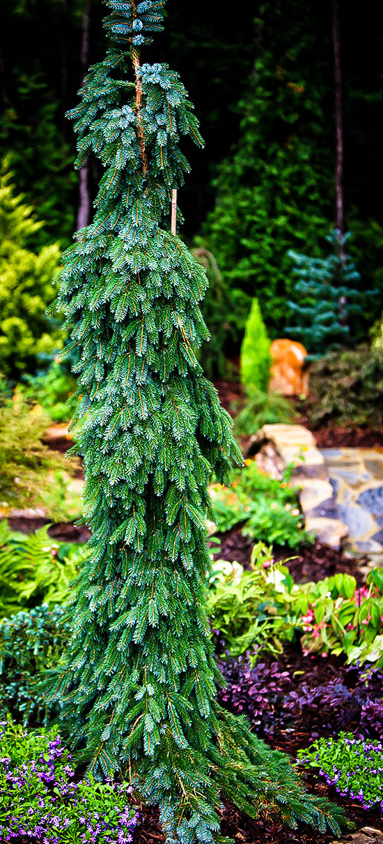 Bruns Weeping Serbian Spruce For Sale Online The Tree Center