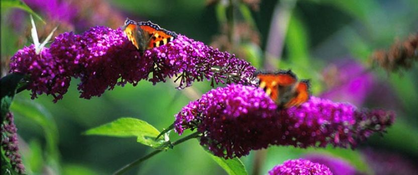 Flowers all Summer with the Butterfly Bush