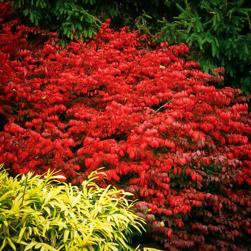 Garden Bush: Burning Bush Plant For Sale