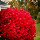 Bright Red Burning Bush