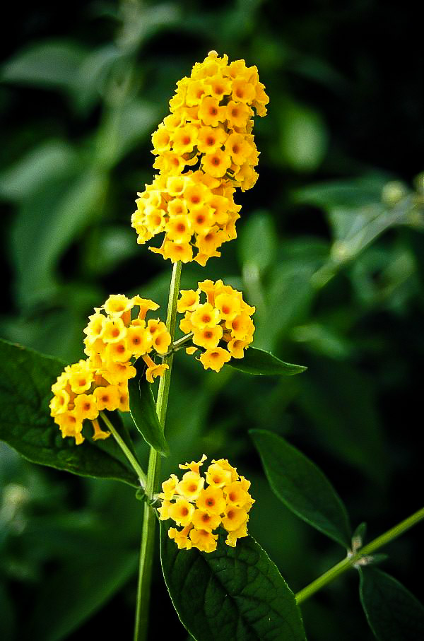Honeycomb Butterfly Bushes For Sale Online The Tree Center