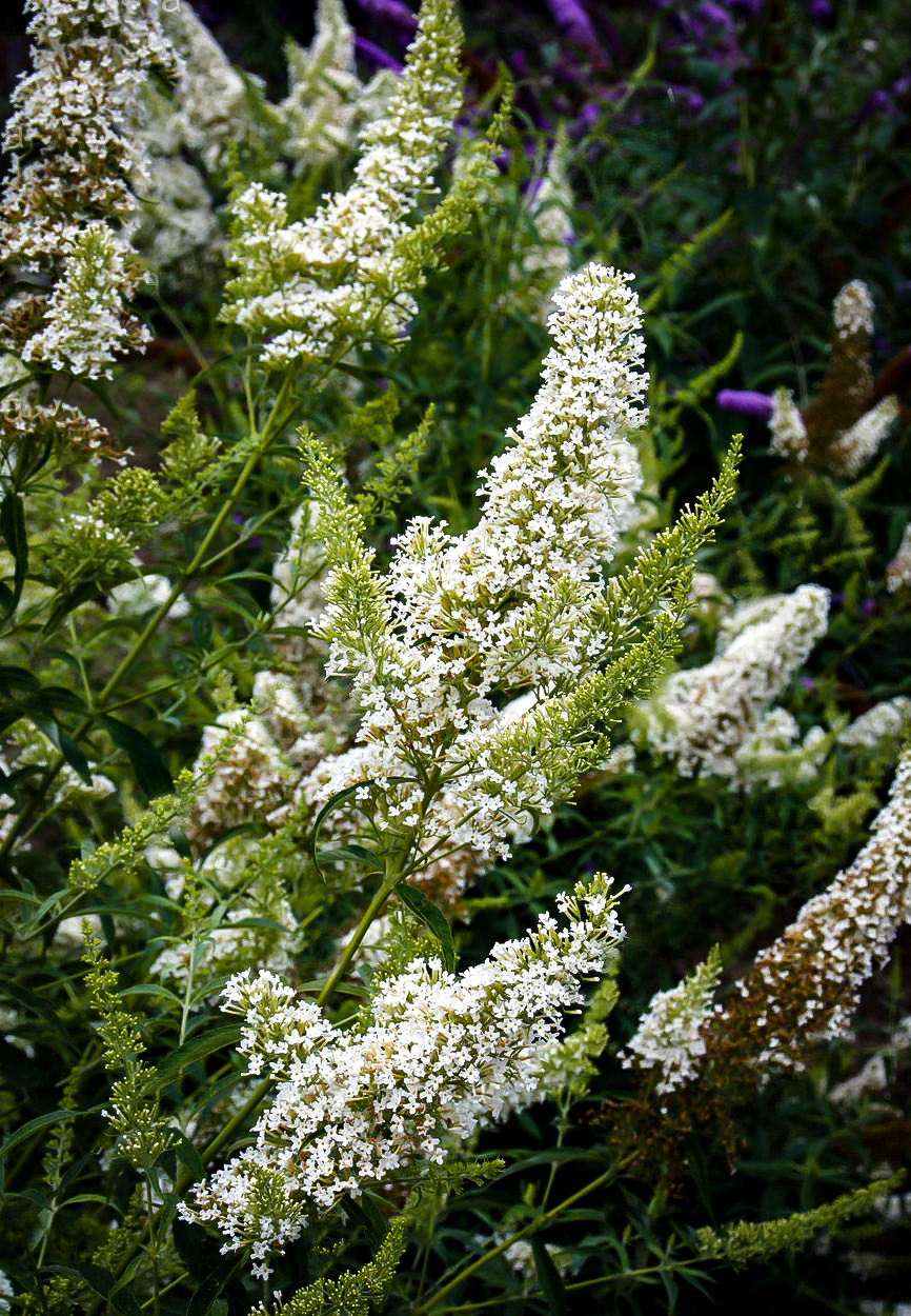 Petite Snow Butterfly Bushes For Sale The Tree Center