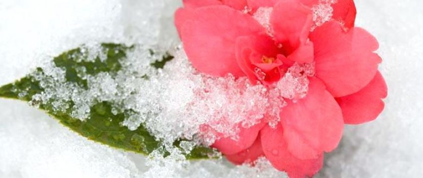 Months and Months of Camellias in Bloom – It's Easy!