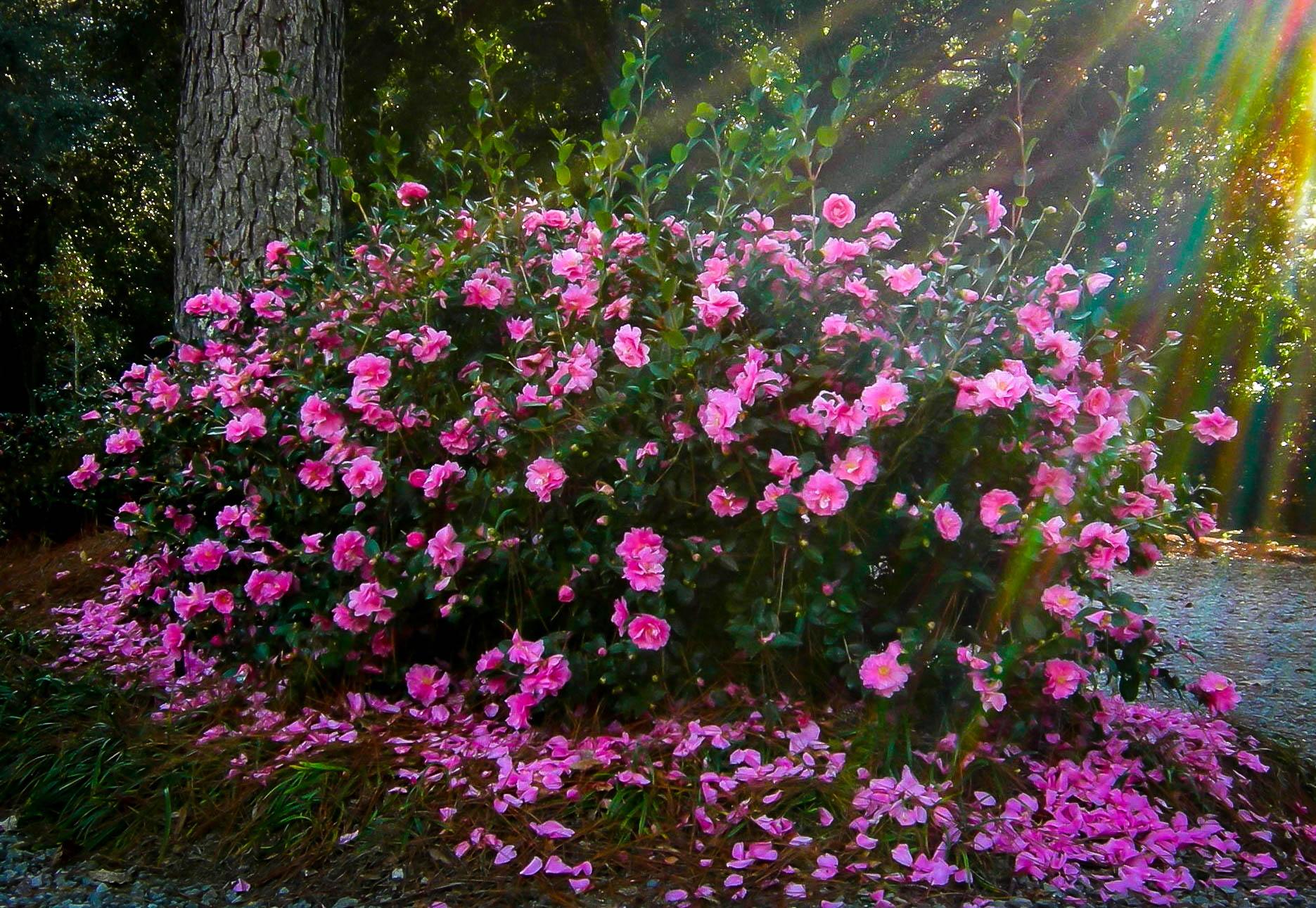 Sparkling Burgundy Camellias For Sale | The Tree Center™