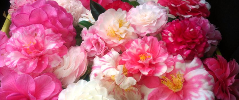 Camellia – Winter Rose of the South