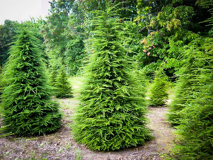 Canadian Hemlock For Sale Online The Tree Center